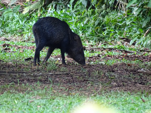 This photo was when we went on a nature hike at OTS. We saw many of these little boars, which are called peccaries. They were all rummaging through the forest looking for food. This was very cool to see an animal like this in their real habitat.  -Cecilia Sergi