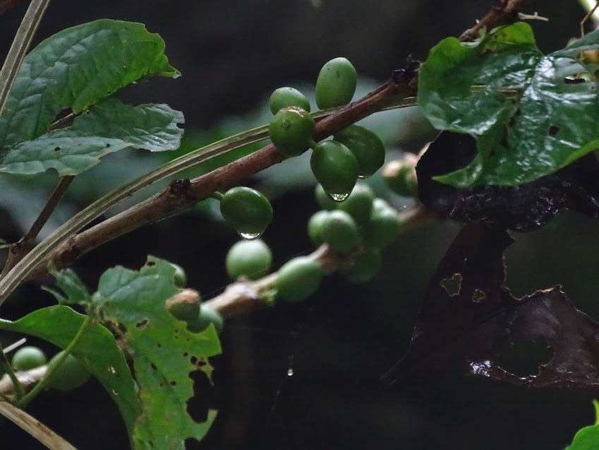 This is an unripe coffee bean dripping rain after a storm. During our coffee tour it rained hard. We had to wait inside until it settled down a little. In this photo, the rain had ceased and there were some drops that lingered on the plants. The beans are green, meaning they are unripe and not ready to become coffee yet. They will turn red when they are ripe.  -Kieran Larson