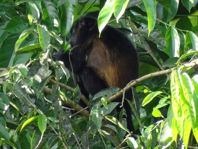 This photo shows one of the many howler monkeys we saw in Costa Rica. This howler monkey is eating leaves on the edge of the rain forest at the pineapple plantation we visited. Howler monkeys are small, extremely cute, and very loud. Their name comes from the booming noise they make that we heard so often while near the Selva.  -Will Addington