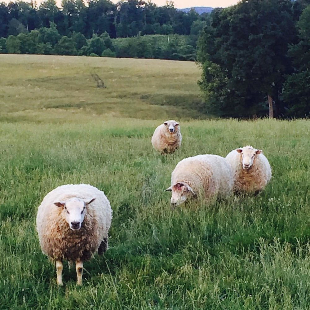 Sheep at Border Springs Farm