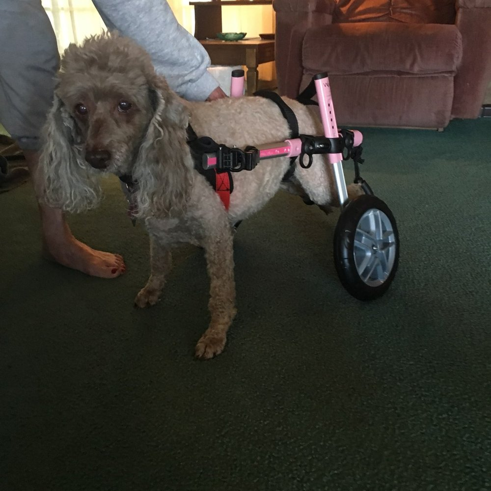 heidi - 14 year old Miniature Poodle ~ Soap Lake, WashingtonPatsy (Heidi's mom)  will be turning 82 years old in July, and her little miniature Poodle, Heidi, is 14 years old. Heidi had gotten some kind of back injury & had been like dragging herself for about a year.