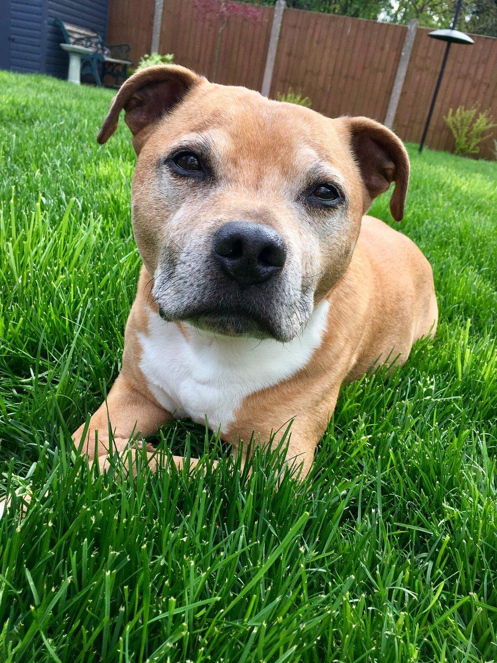 bruce - 11 Year Old Staffordshire Bull Terrier ~ UK ~ Medium Quad Wheelchair ~ $900