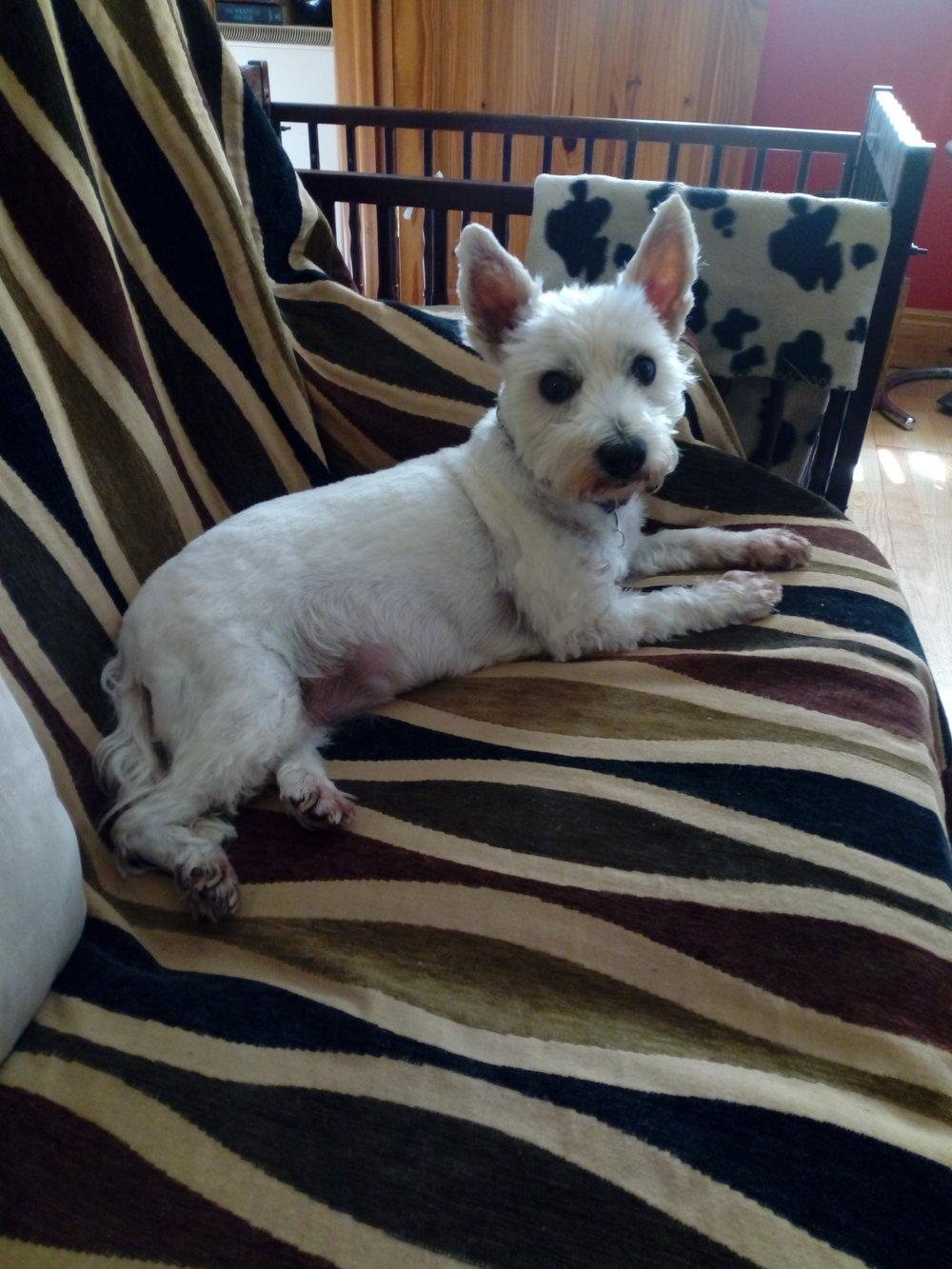 jessie - 8 Year Old West Highland Terrier ~ Ireland ~ Rear-End Wheelchair ~ $500Wheelchair Ordered!