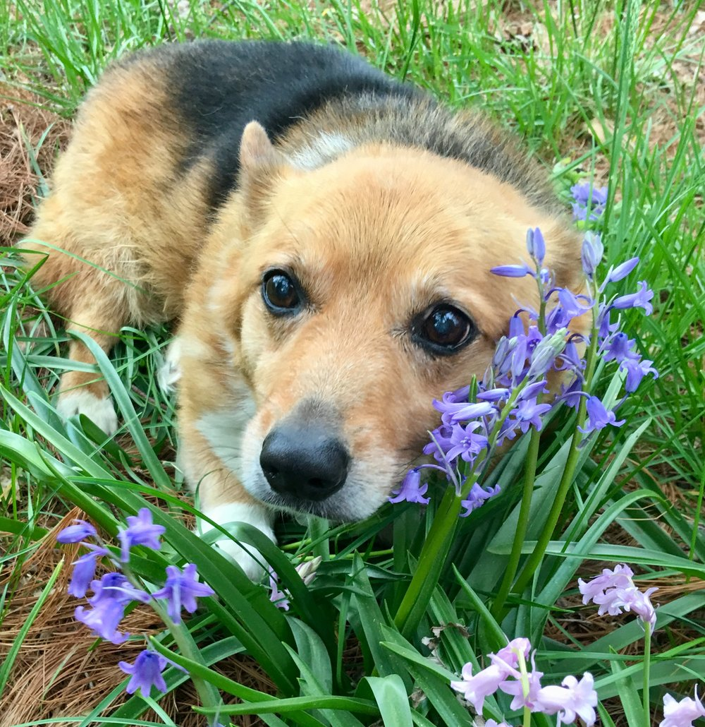 sir chesterfield - 15 Year Old Welsh Corgi ~ Egg Harbor Township, New JerseyNeeds: Medium Quad Wheelchair ~ $363.00Donations received: $363.00 (Updated 7/26/2018)Please consider donating to other puppers on our waiting list.