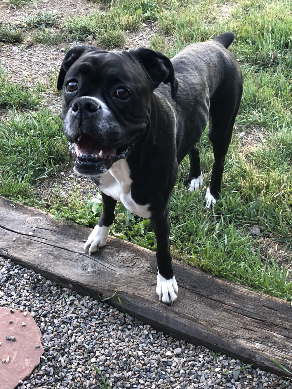 bella   - 9 year old Boxer from Durango, Colorado Needs: Medium/Large Rear-End Wheelchair ~ $350.00Donations received: $350.00 (Updated 8/10/2018)Please consider donating to other puppers on our waiting list.