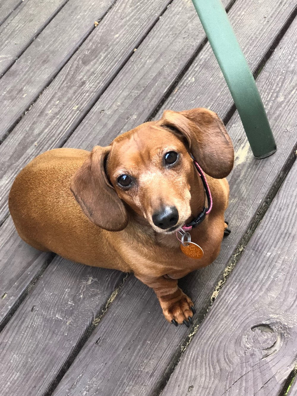 pumpkin - 6 year old Dachshund from Bella Vista, ARNeed of a small rear-end wheelchair: $180Donations received: $180.00 (Updated 8/22/2018)