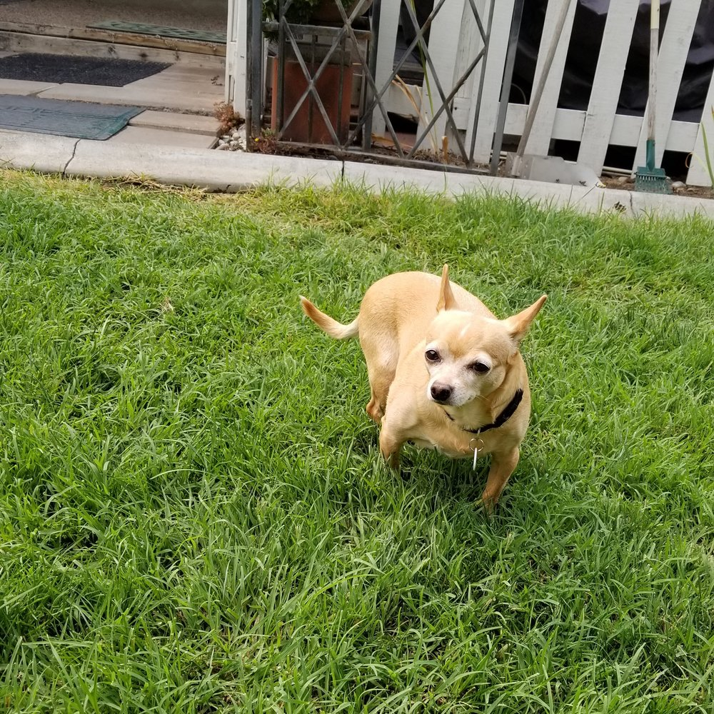 Bella - Bella is a 12 year old Chihuahua from Kennewick, WANeed: WalkinPets Small Rear-End Wheelchair: $162.00Donations Received: $162.00 (updated 8/27/2018)