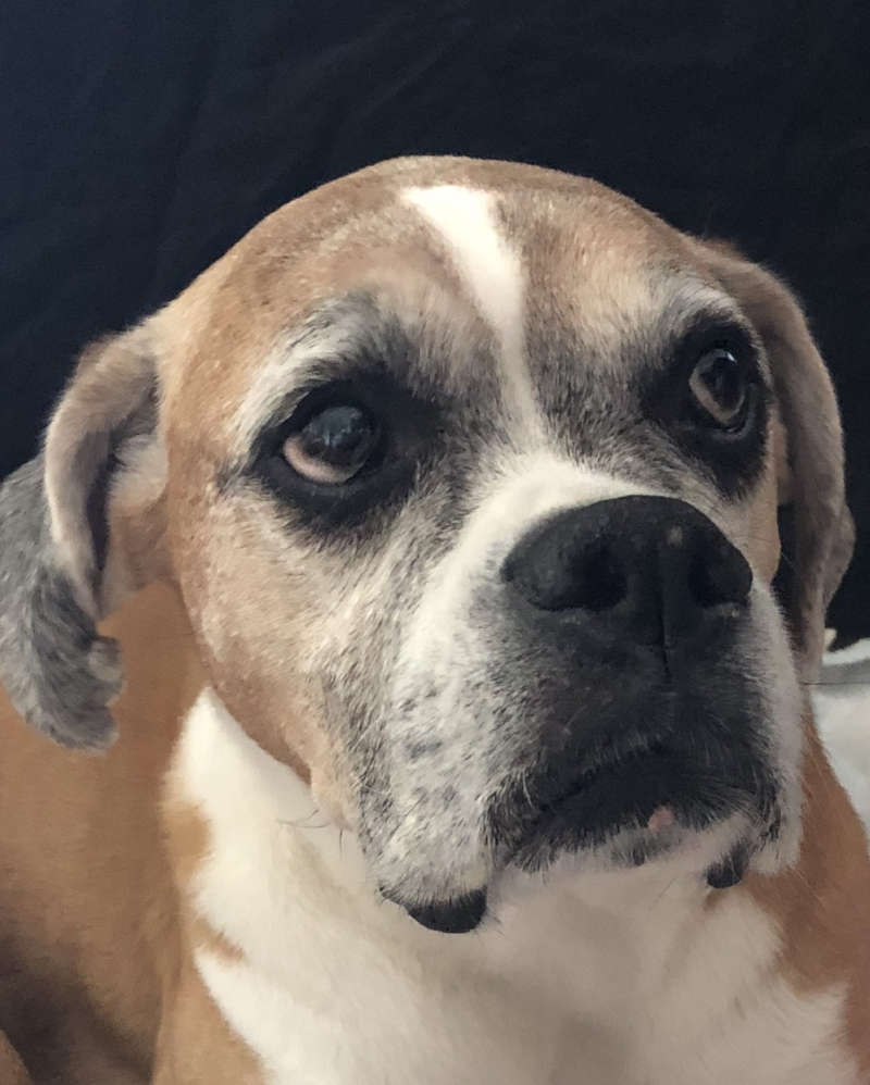 Malu - 11 year old Boxer from Sunrise, FL in need of a rear-end wheelchair. $400Donations Received: 0 (Updated 10/18/2018)