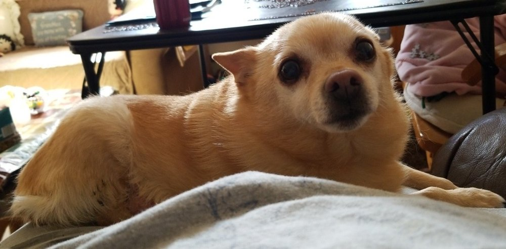 Sandi—11 year old Chihuahua from Libby, MT. She will receive her rear-end support chair on 10/26 Friday.