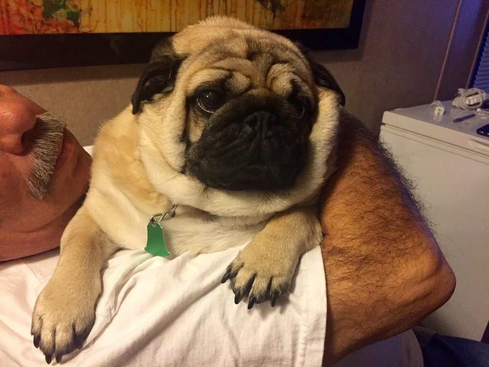 billy bob - 6 year old Pug from Poteet, TX in need of a rear-end wheelchair. $185Donations Received: 0 (Updated 11/06/2018)