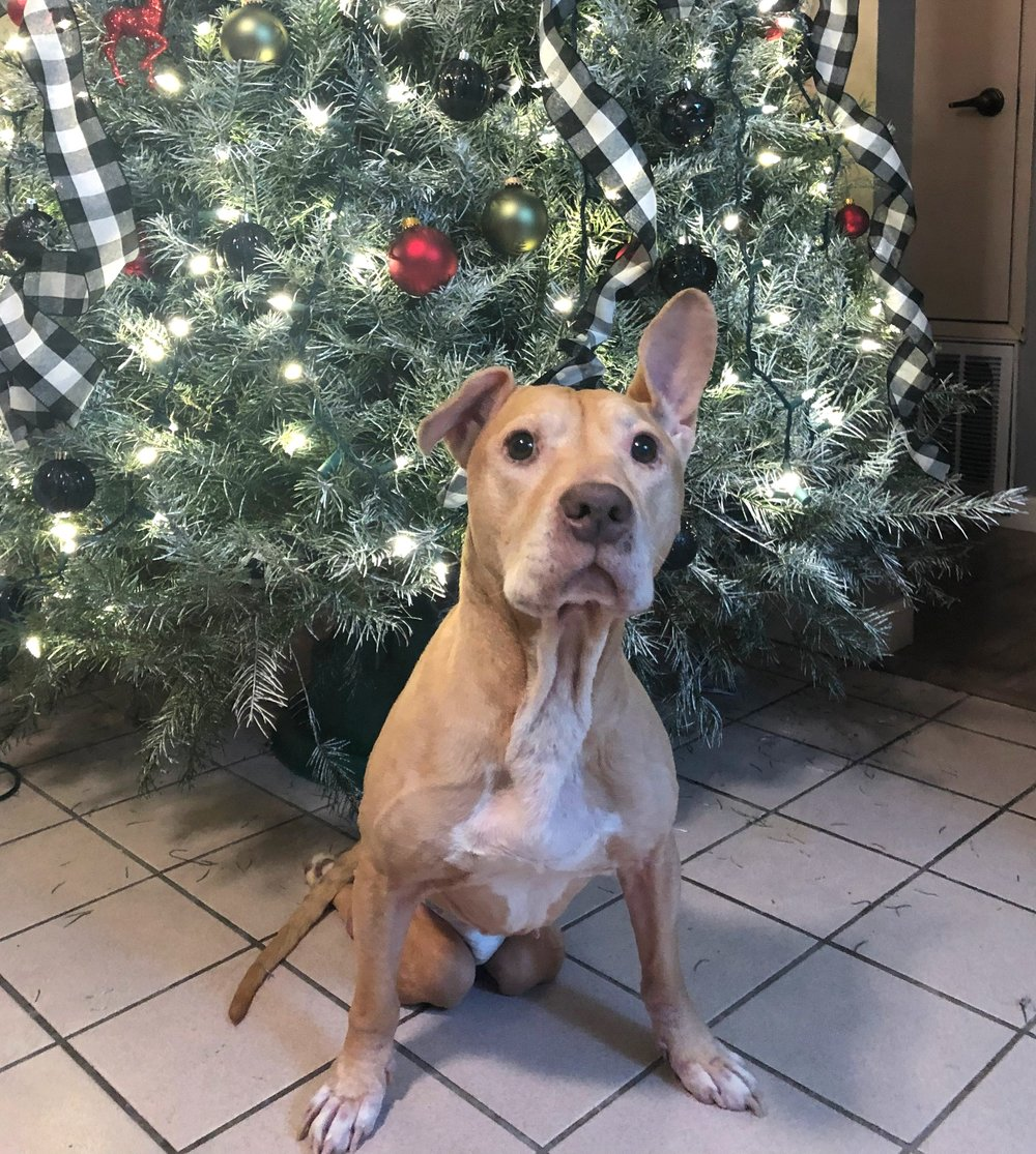 Meet Champ! 11 year old Pit Bull from Sacramento, CA in need of a large rear-end wheelchair. $400. He has been paralyzed since he was 3 year old and has gone through couple wheelchairs over the years that fell apart on him. Donate now to help us send Champ a good quality wheelchair that will last him years to come!  100% of your money brings wheelchairs to dogs in need when you donate.