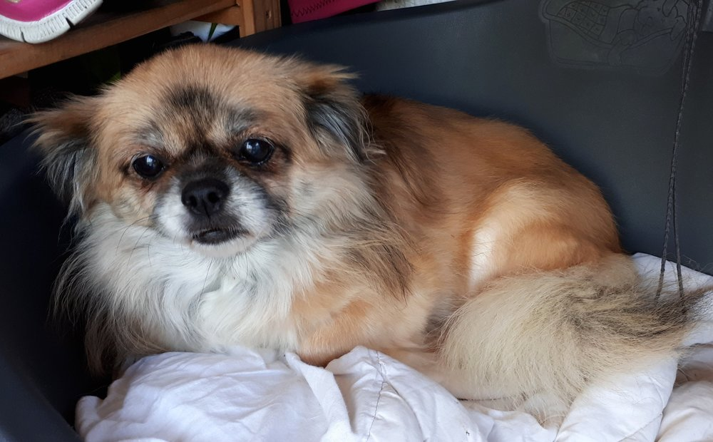 fifi - Tibetan Spaniel from Ireland, in need of a quad wheelchair: $440 includes shipping to Ireland.