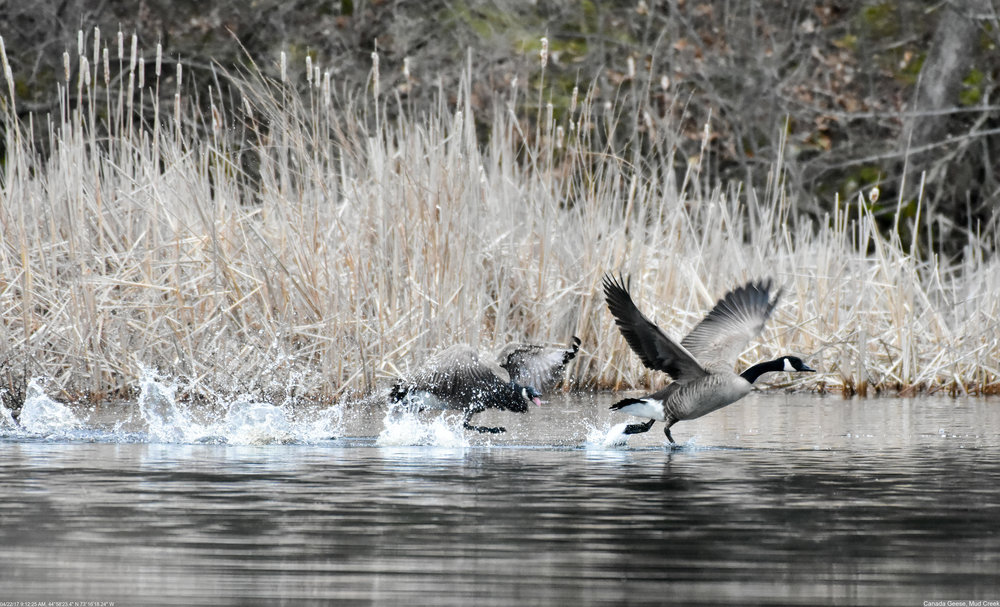 Canada Geese at Mud Creek Photo: Marc Faucher