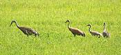 Sandhill cranes in Vermont