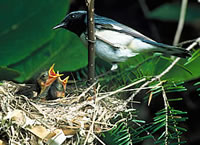 Black_Throat_BlueWarbler_200.jpg