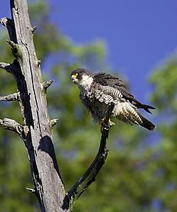 Falcon in Fairlee VT