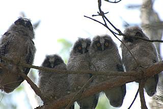 Baby Long Eared Owls