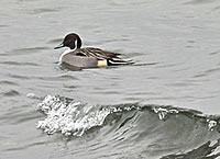NorthernPintail_200.jpg
