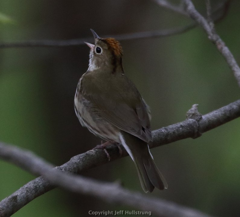 Ovenbird on Mt Philo Photo: Jeff Hullstrung