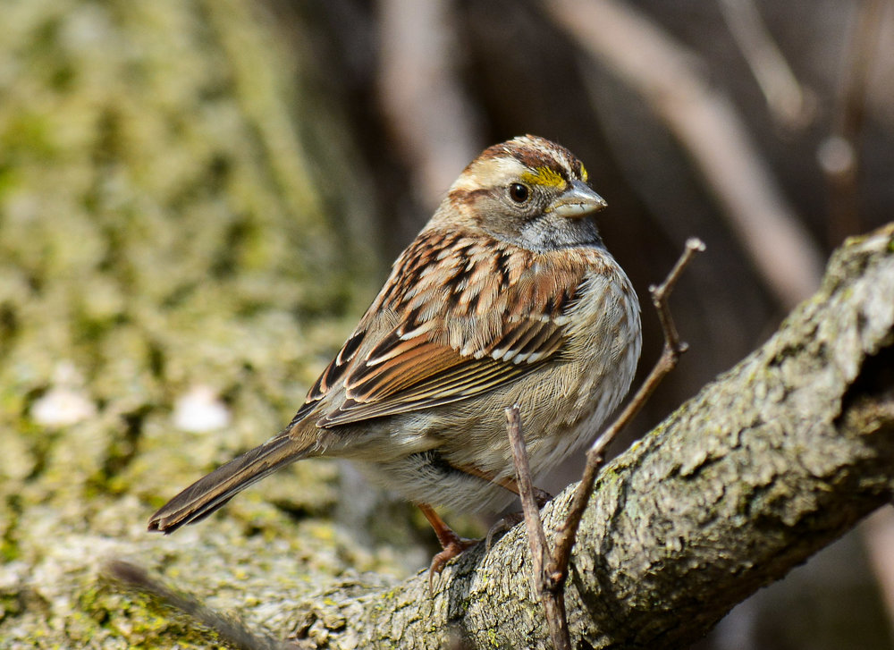 Savannah Sparrow Photo: Marc Faucher