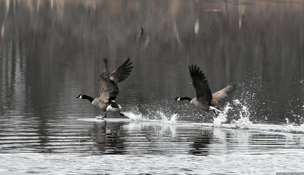 Canada Geese Photo: Marc Faucher