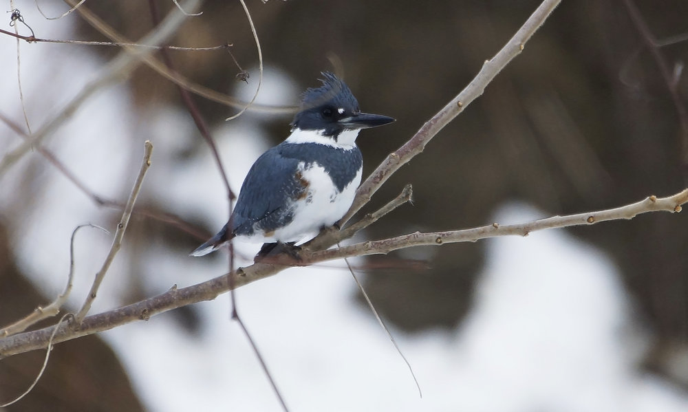 Belted Kingfisher Photo: Marc Faucher