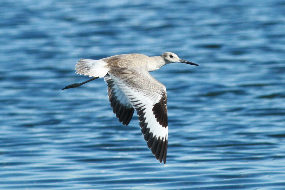 Willet Photo: Bob Dill