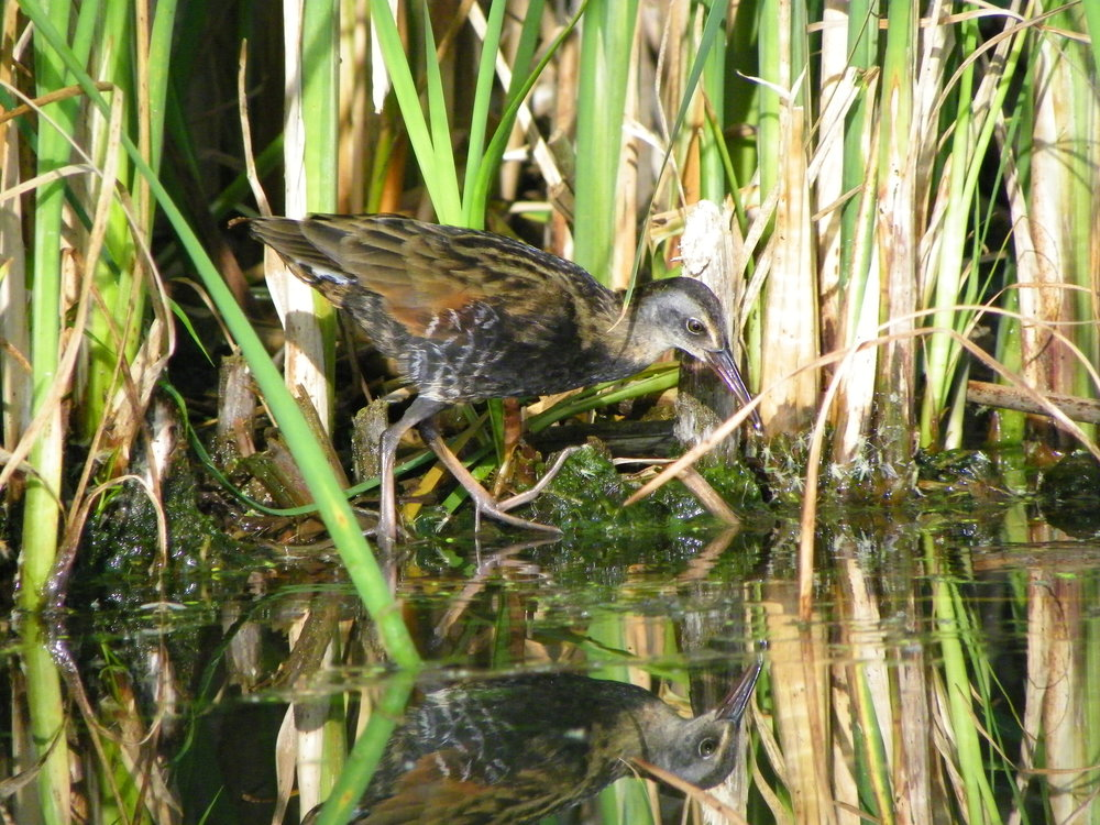 Virginia Rail Photo: Eleanor Hart