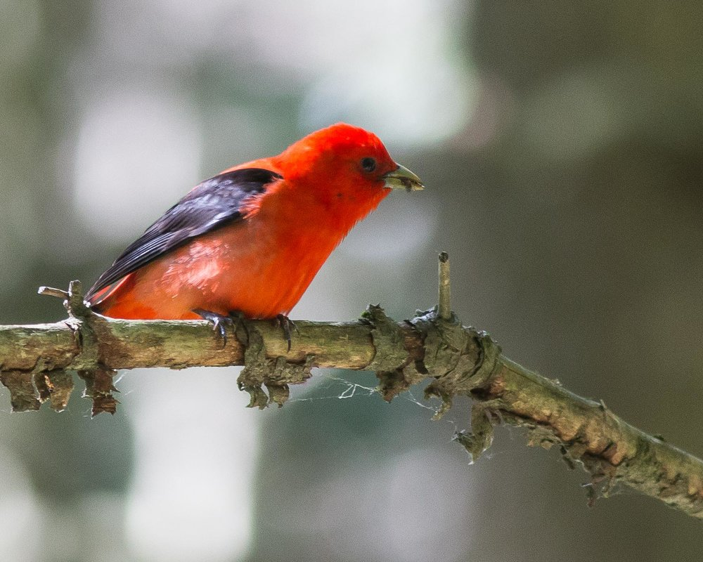 Scarlet Tanager Photo: Josh Lincoln