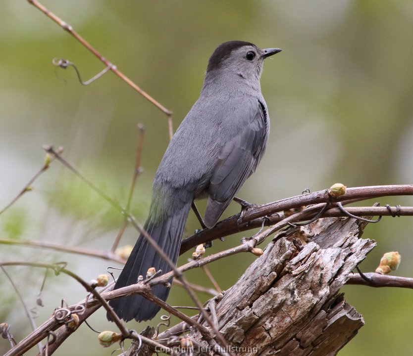 Gray Catbird Photo: Jeff Hullstrung