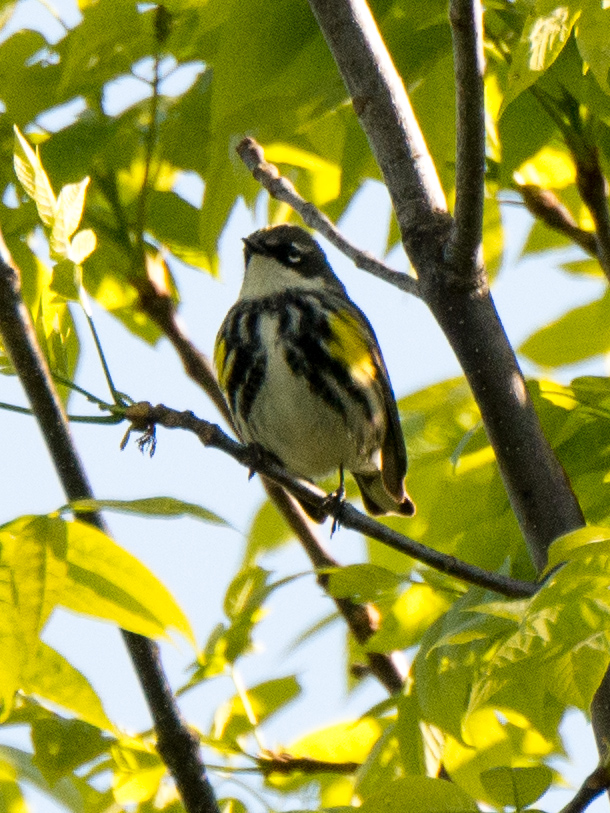 Yellow-rumped Warbler Photo: Marc Faucher