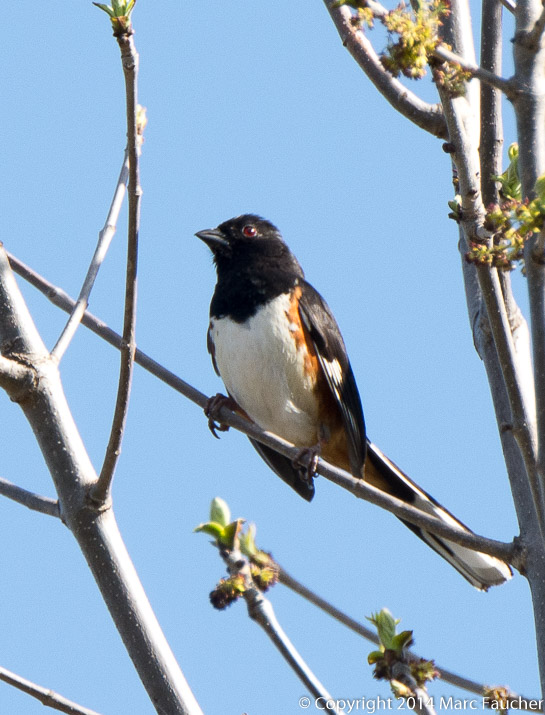 Eastern towhee Photo: Marc Faucher