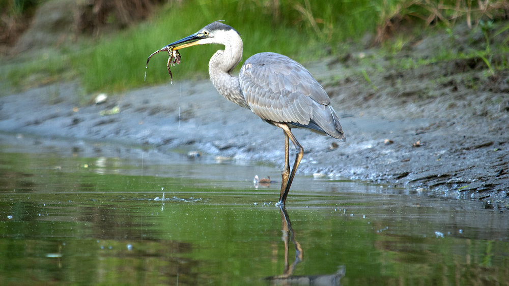 Great Blue Heron and Leopard Frog Photo: Mike Sargent