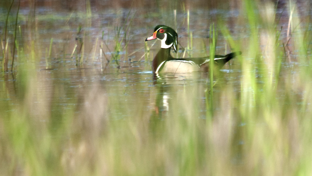 Wood Duck Photo: Mike Sargent