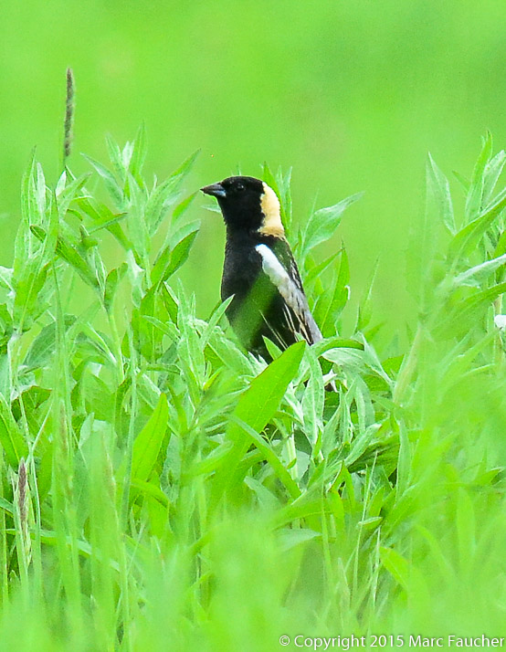 Bobolink Photo: Marc Faucher