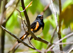 American Redstart Photo: Marc Faucher