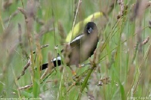 Banded Bobolink photo by Marc Faucher