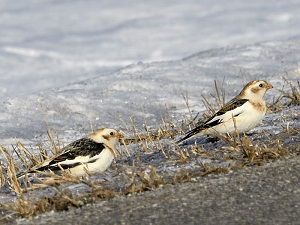 Snow Buntings resized.jpg