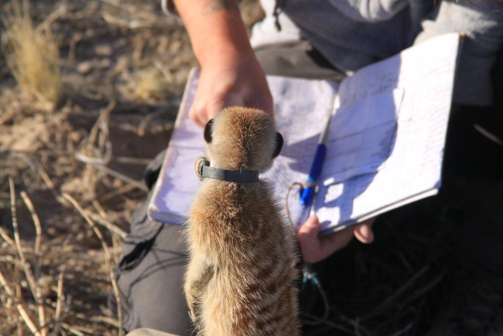 meerkat book.jpg