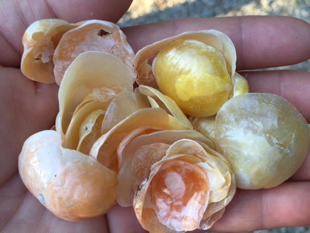 shells handful