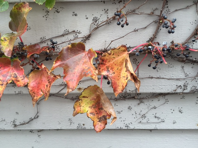 leave vine on fall wall