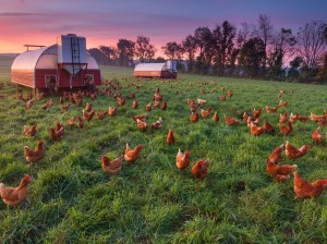 chicken-farm-essick_66070_990x742