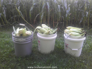1 5 gal buckets of corn
