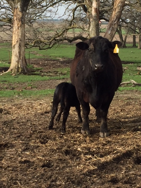 checking on the calves 1 April 2016.JPG