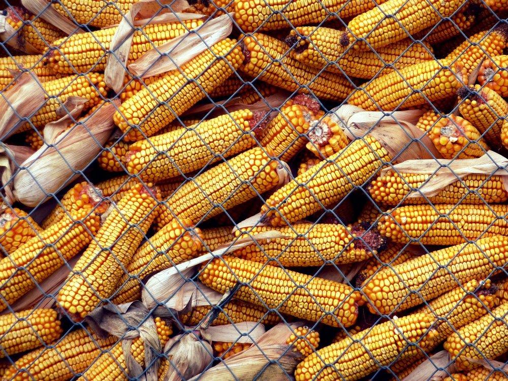 corn-1404954_1920.jpg