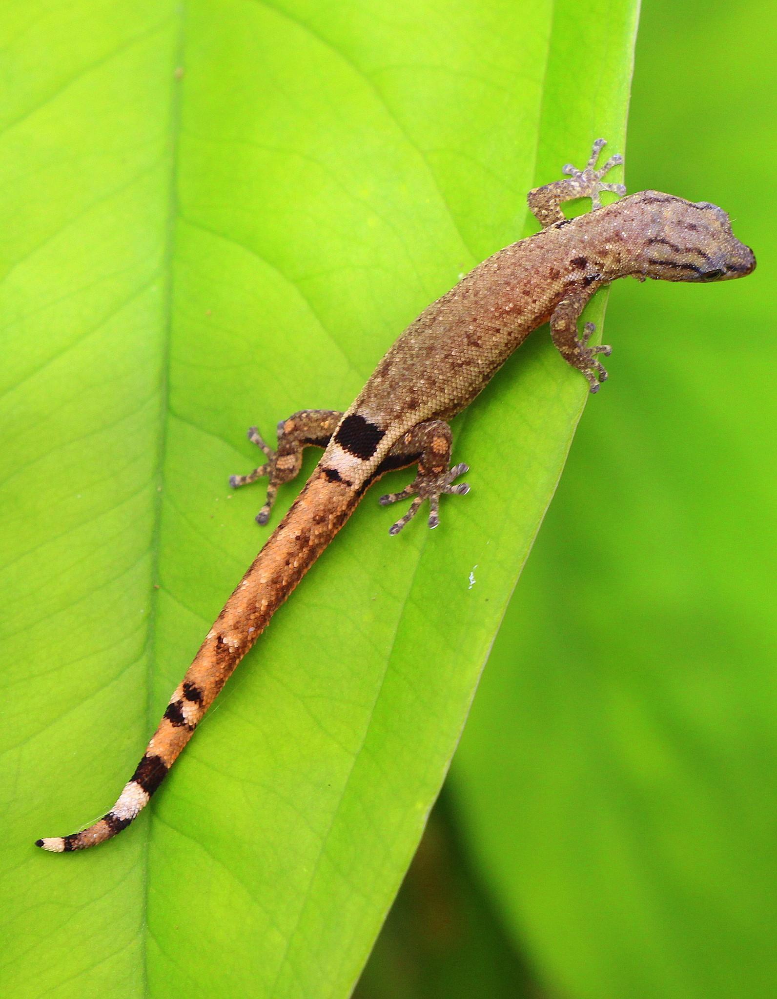 lizardgecko