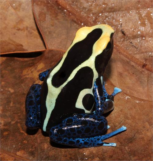 D. Tinctorius Photo Credit:  USAfrog.com