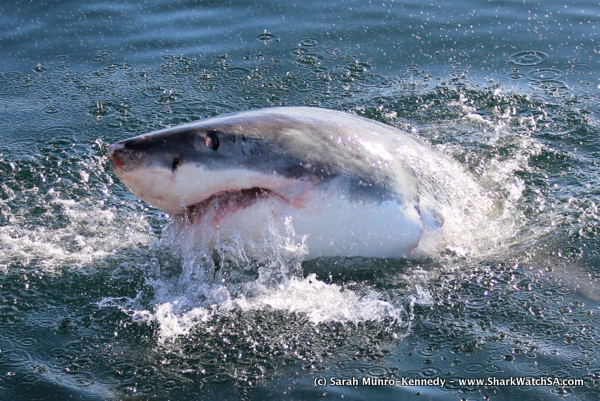 great white shark cage dive cape town south africa