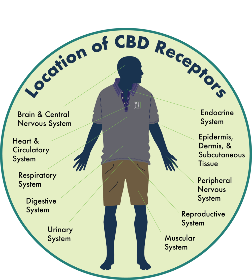 location of cbd receptors.png