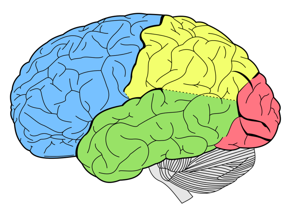 Language development at brain level at Canto Speech Therapy Online